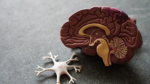 model af en hjerne