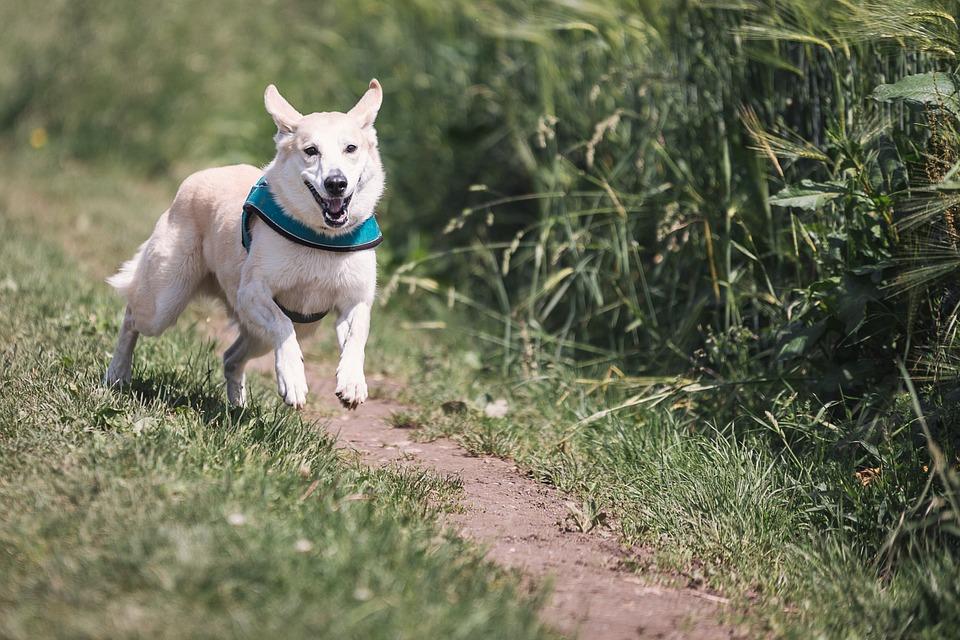 Hund i løb